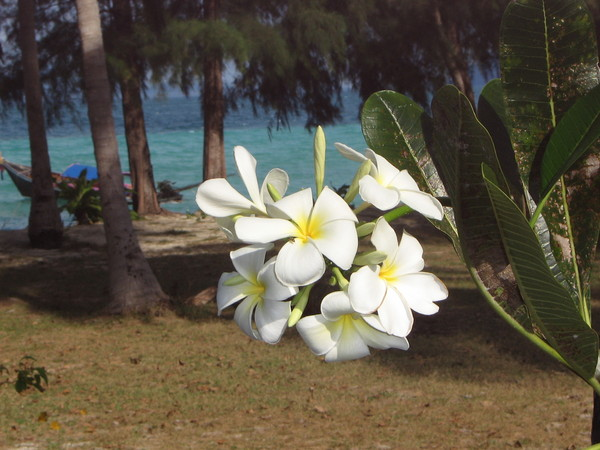 Frangipani with turquoise water in the background