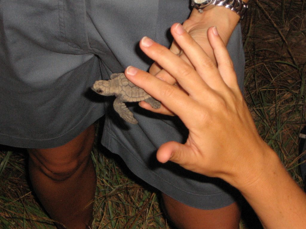 a baby turtle held by a ranger, with a hand petting it