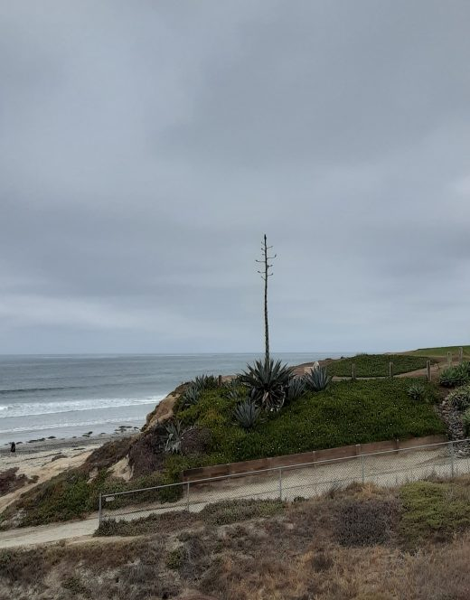 Century plant spike towering over the beach